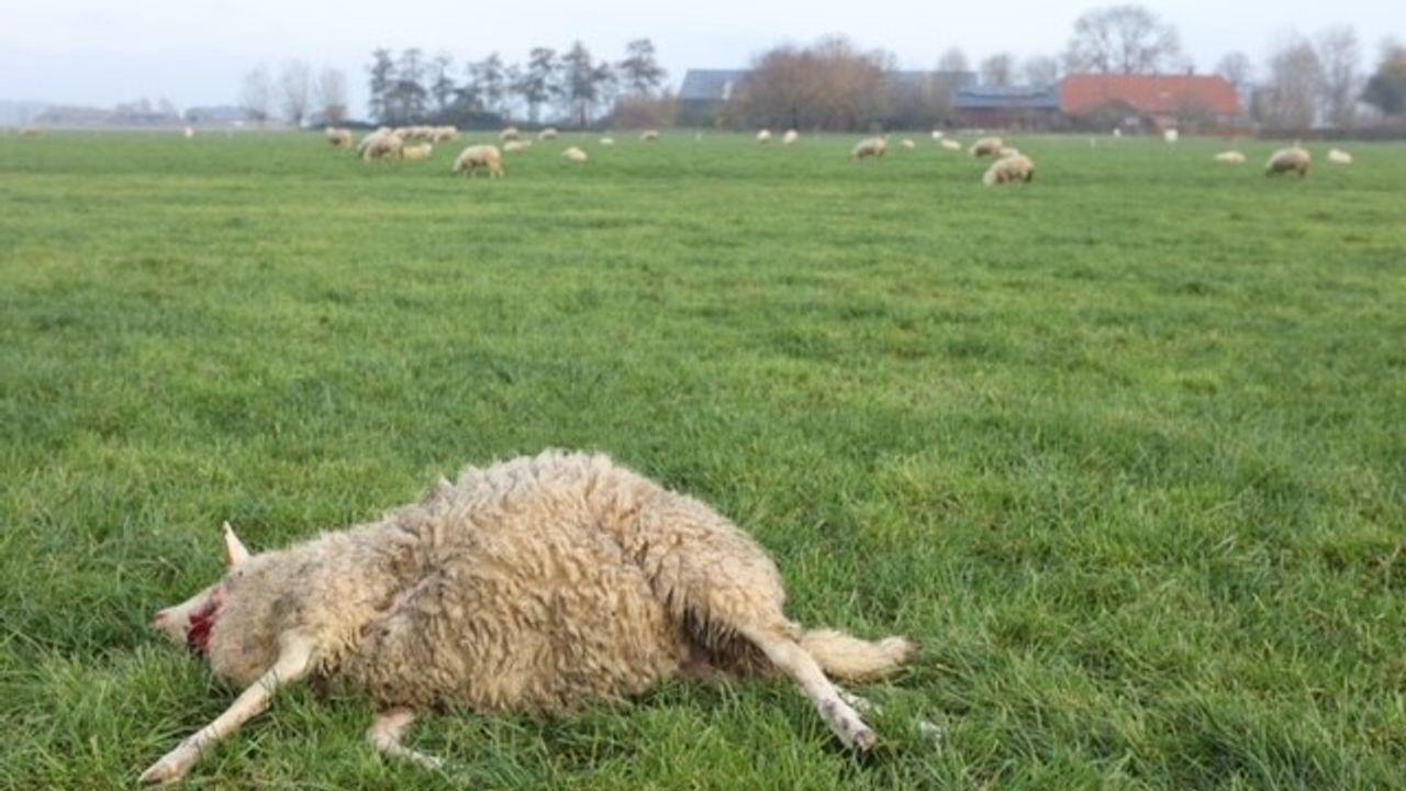 Onderzoek bevestigt: Schapen in Rosmalen en Oss inderdaad gedood door wolf
