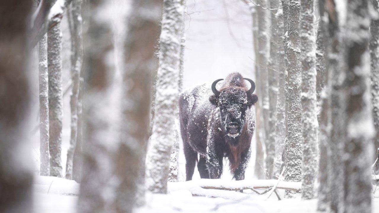 'Grote grazers Maashorst niet in problemen door winterweer'