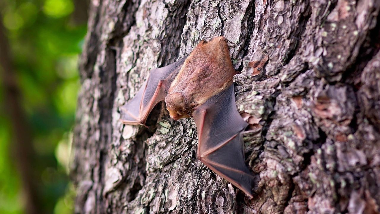 Loosbroekse expert: 'vleermuizen zijn niet eng maar juist nuttig'
