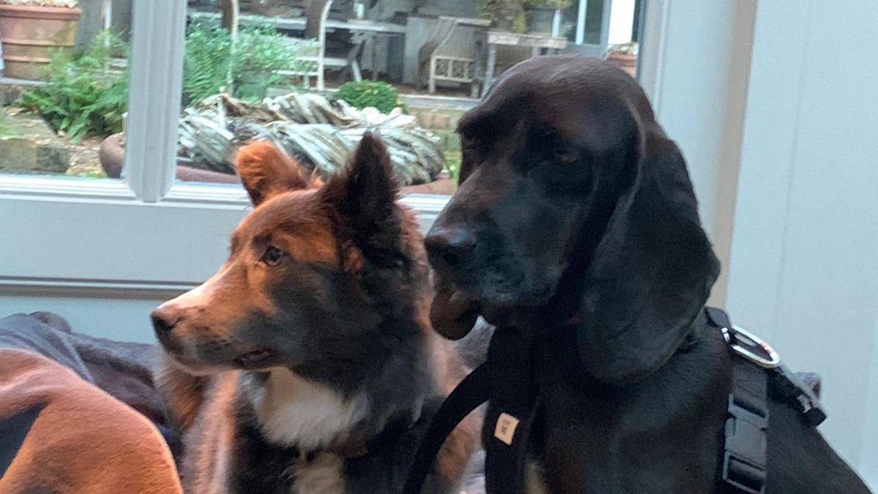Na 50 kilometer wandelen is hond Gloria uit Oss teruggevonden in Waalwijk