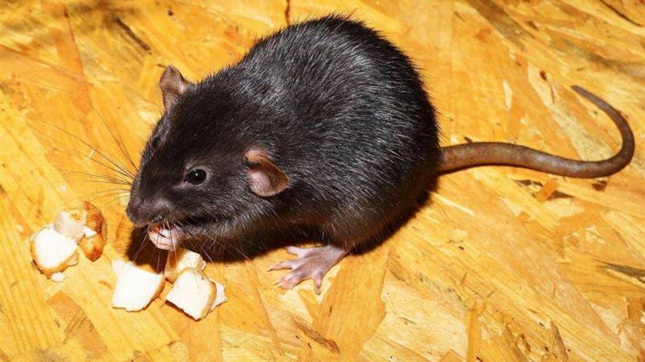 Meldingen rattenoverlast in Bernheze flink toegenomen