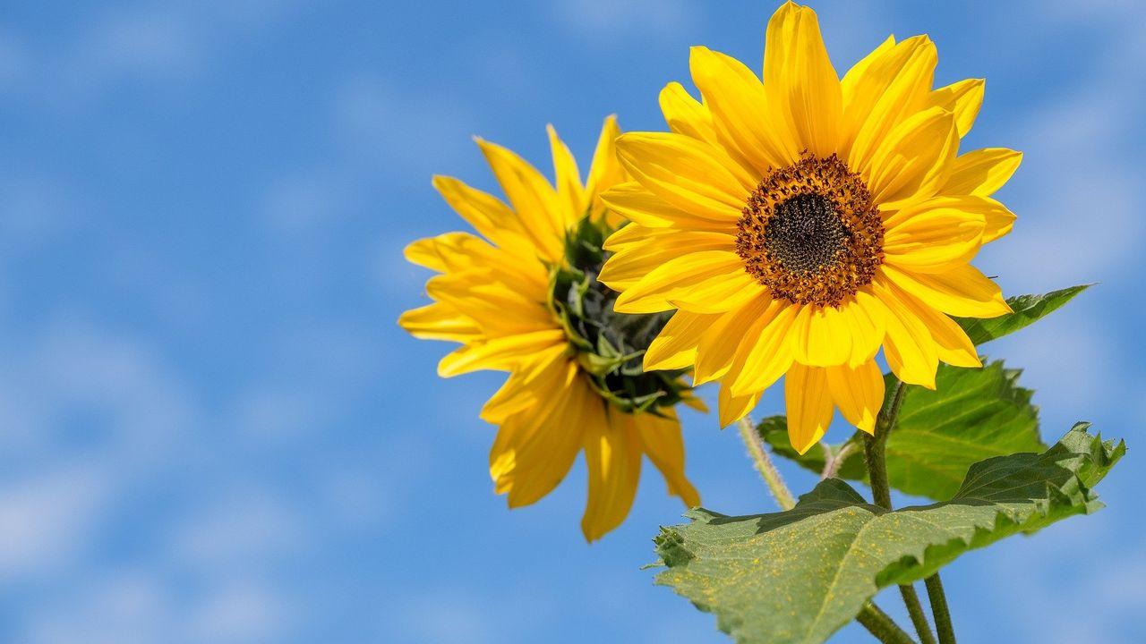 Wie kweekt de grootste zonnebloem in de Maaspoort?