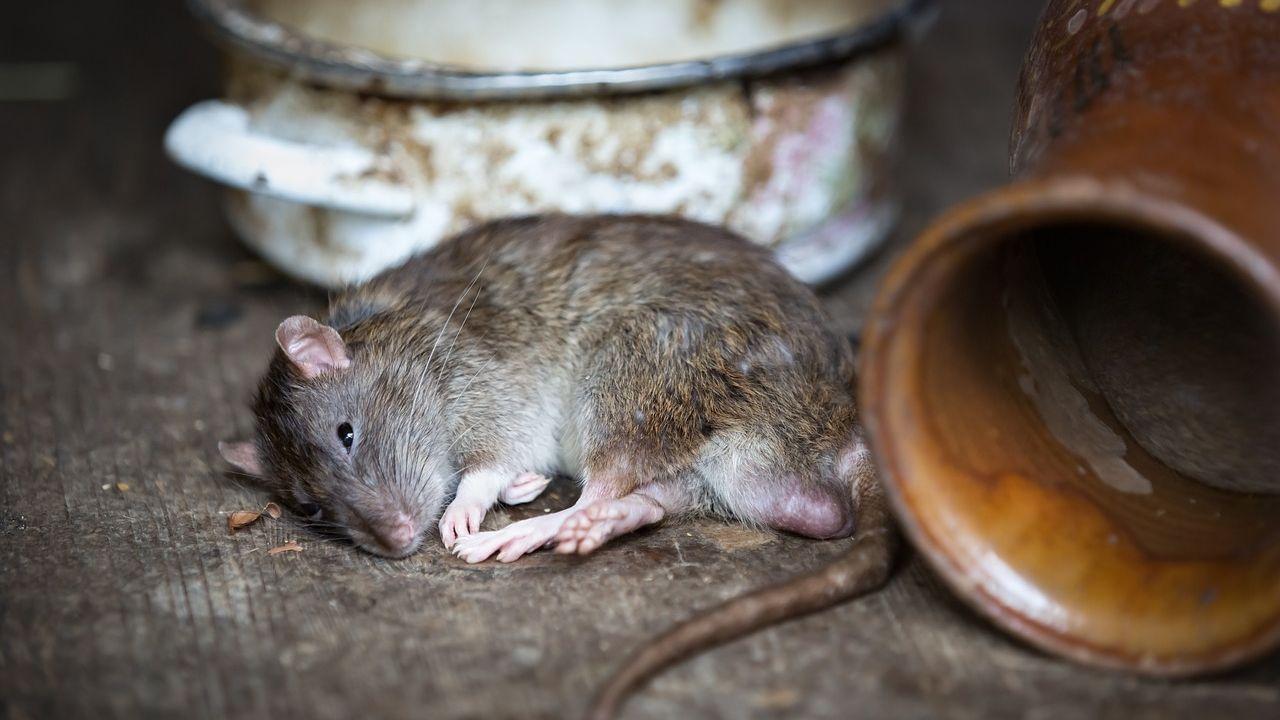 Kruiskamp geteisterd door ratten