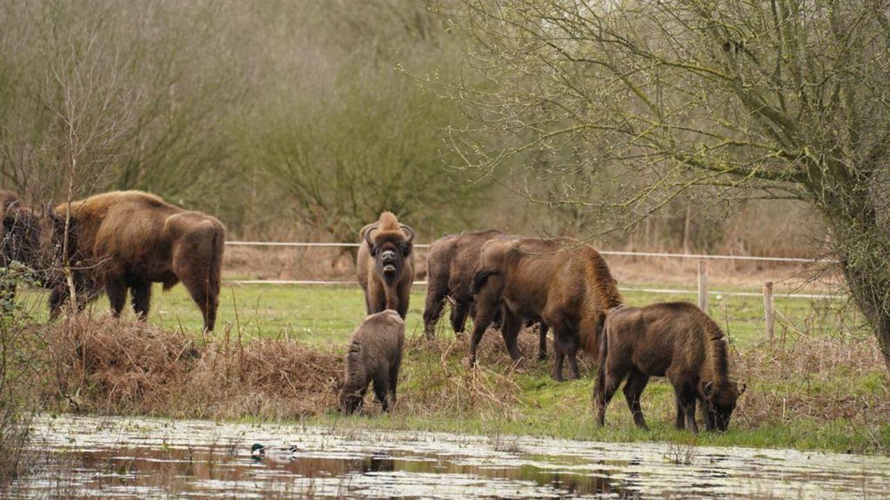 VVD Uden wil nieuw onderzoek grote grazers Maashorst, raad stemt niet in