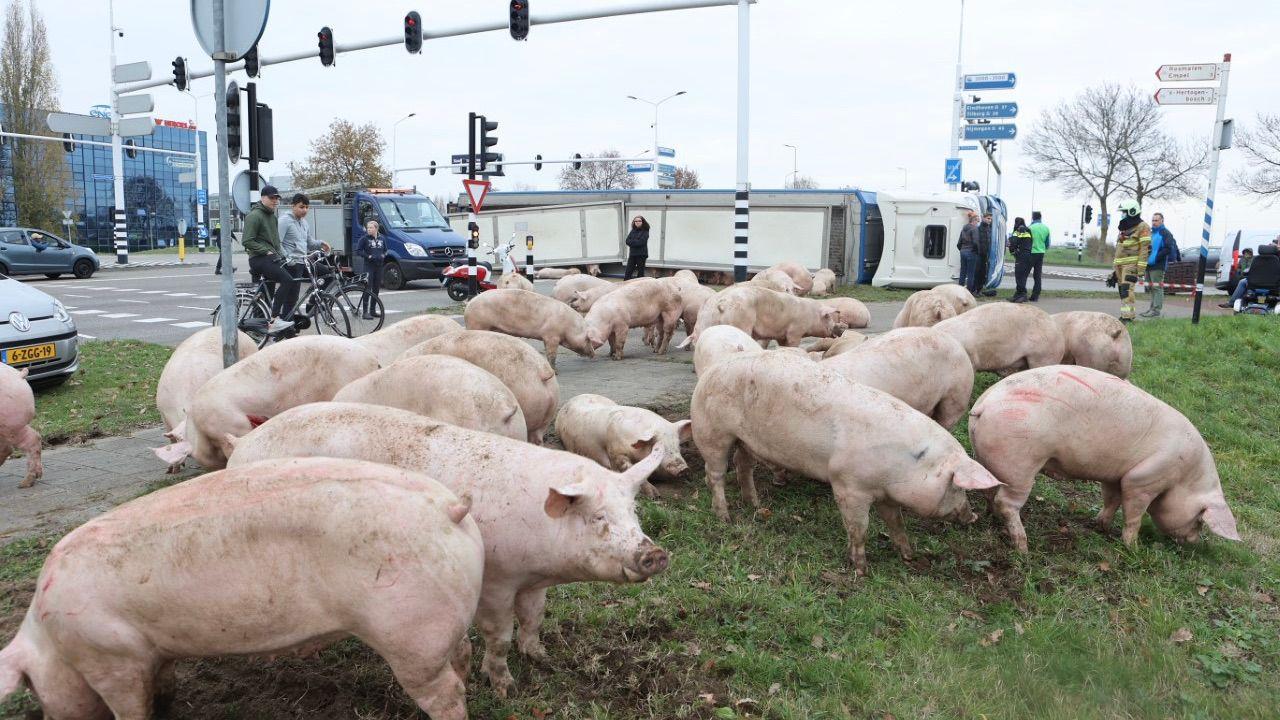Varkens los op Bruistensingel Den Bosch na kantelen vrachtwagen