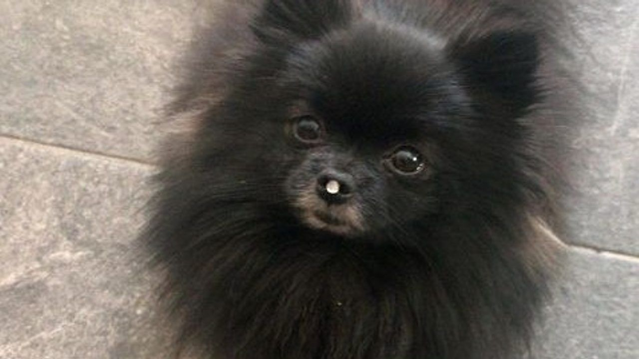Hond Bliss weer terug bij haar baasje in Uden