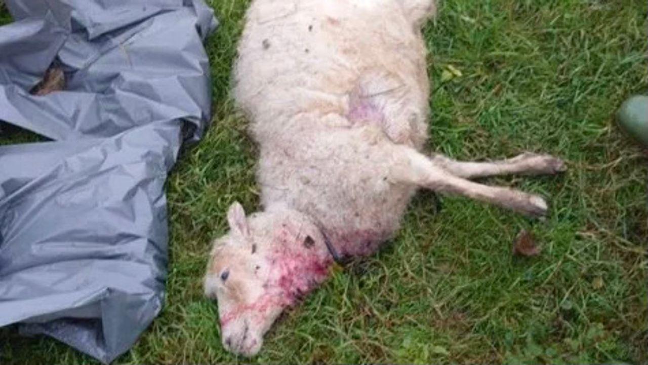 Dode schapen in Oss, mogelijk slachtoffer van wolf