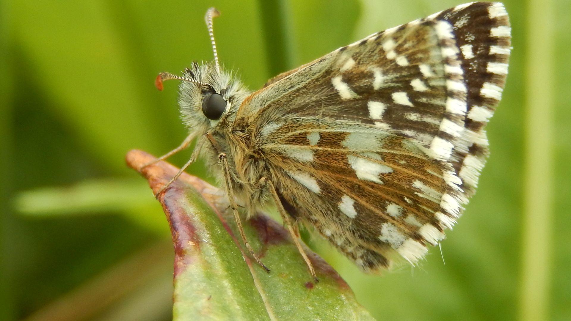 aardbeivlinder - kars veling de vlinderstichting.jpg